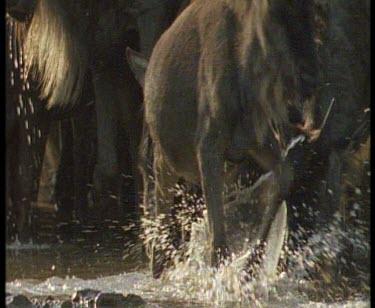 Nile crocodile grabbing wildebeest calf and dragging it in river