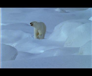 Large male polar bear walking amongst snow covered boulders