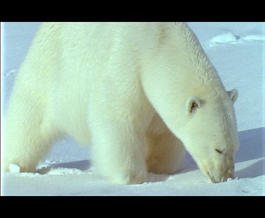 Large male polar bear sniffing snow