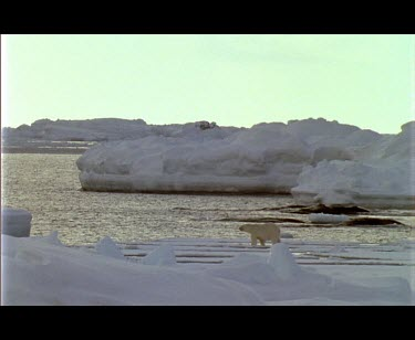 Large male polar bear walking over ice at edge of fjord, enters water