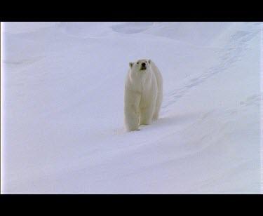 Polar bear walking over snowfield..