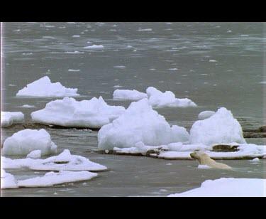 Wet male polar bear walking amongst sea ice