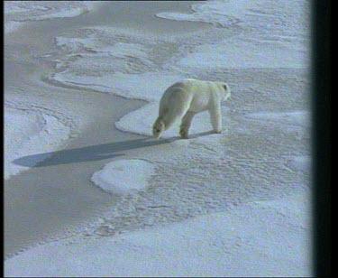 Polar Bear running across pack ice