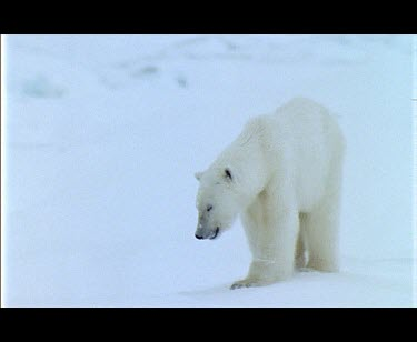 Polar Bear foraging over snow at the edge of a fjord.