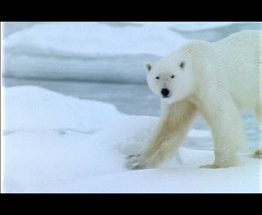 Polar Bear walking over snow at the edge of a fjord.