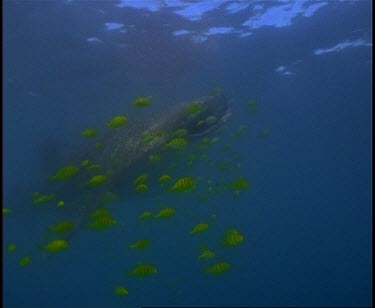 Whale Shark swimming in front of camera many Yellow Striped Pilot Fish present.