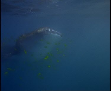 Whale Shark at surface opening closing mouth gulping in water.