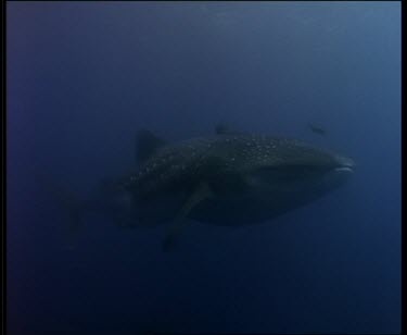 Whale Shark swim by close to camera, tail fin appears to swat cameraman.