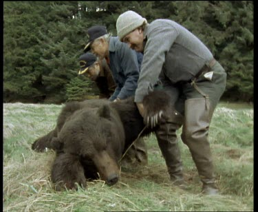 Sequence of shots. Hunters skinning grizzly