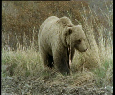 Grizzly walking towards camera