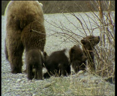Grizzly mother with three cubs walking