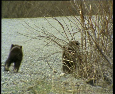 Three cubs run after mother