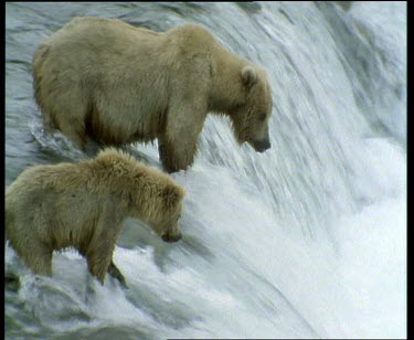 Mother and cubs waiting at waterfall for salmon run. Fish migrating upstream to spawn. Fish jumping up rapids, bears waiting to catch them. Cubs learning hunting behaviour from mother. Mother catches...