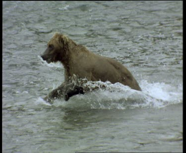 Cub running through rapids, trying to catch salmon, unsuccessfully.