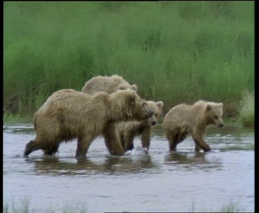 Mother and cubs wading in stream