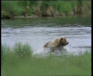 Cub running out of river