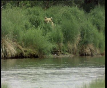 Bear walking down towards river