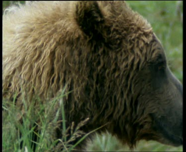 Wet grizzly bear