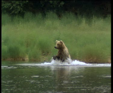 Bear running through water, swimming, hunting, standing to get a look around