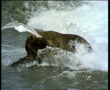 Bear pouncing in rapids to catch salmon
