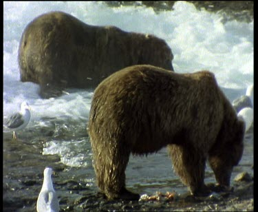 Bears fishing in rapids during salmon run. Seagulls waiting for leftovers.