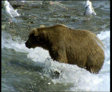 Bear fishing in rapids