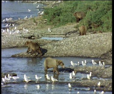 Bear walking along river, seagulls waiting for leftovers