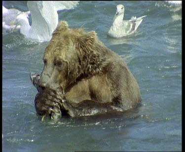 Bear eating salmon, seagulls swimming past, waiting for leftovers