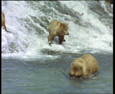 Bears fishing in rapids during salmon run.