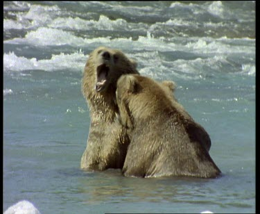 """Bears in rapids interacting, playfully fighting """"Kissing"""""""