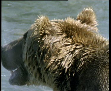 Wet grizzly bear looking towards river