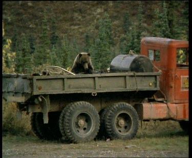 Bear climbing into back of truck