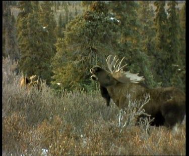 Male moose calling, large antlers