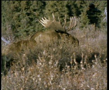 Male moose walking, large antlers