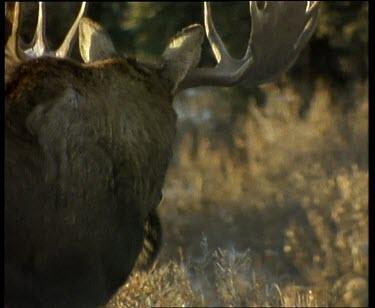Male moose walking away, large antlers. Females in fg.