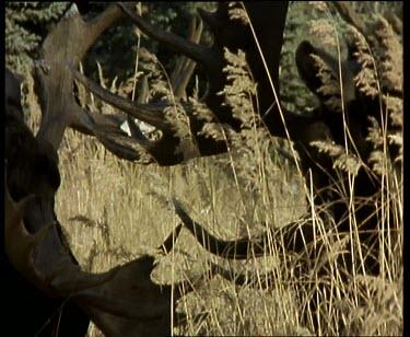 Moose rutting