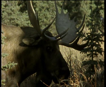Moose rutting. Dominant male chases of subservient male.