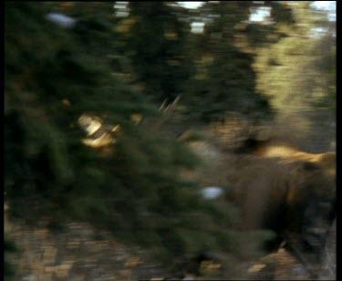 Moose running, looking