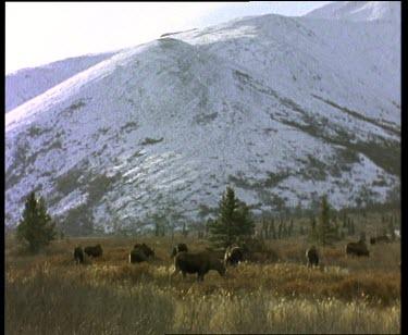 Moose herd grazing in landscape. Snow covered mountain slopes in bg.
