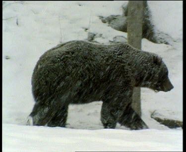 Bear in snow storm