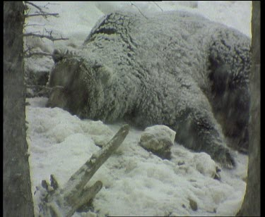 Bear sleeping and resting in snow storm