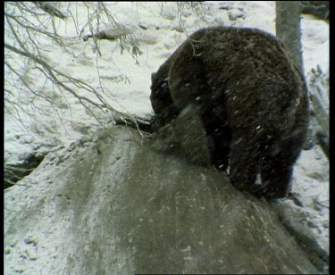 Bear in snow, digging out place to hibernate