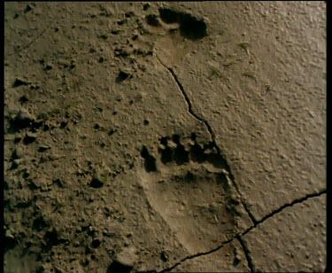 Bear paw prints in mud.