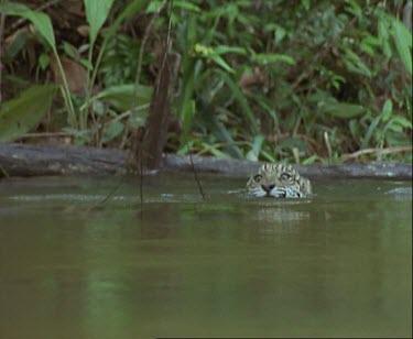 jaguar swimming in stream