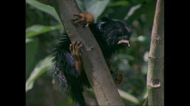VAR MS MCU CU juvenile Midas Tamarin in a tree eating butterflies golden-handed Tamarin
