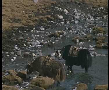 Water buffalo basking in semi frozen river views of Himalayan Mountain Range