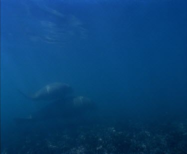 Whale Shark swimming with divers