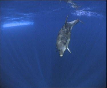 Whale Shark swimming