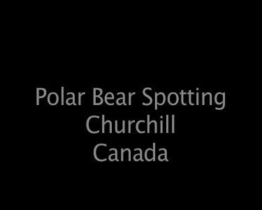 Polar Bear Spottng Churchill Canada