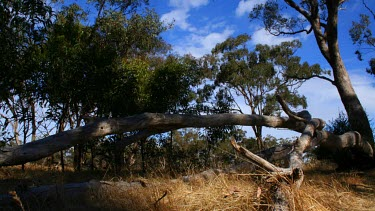 Shot in outback Austalia, this clip tracks a fallen Native Gum Tree in timelapse.